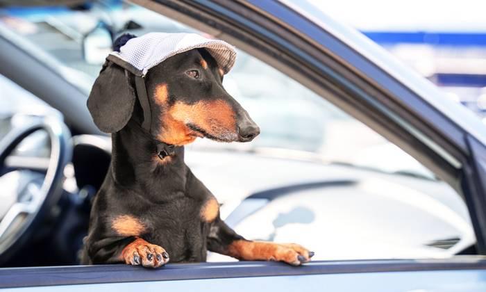 Die Fahrt im Auto ist für die Fellnase die angenehmste Art zu Reisen. (Foto: shutterstock - Masarik)